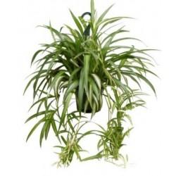 Chlorophytum comosum plant