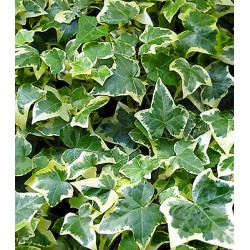 Hedera helix plant